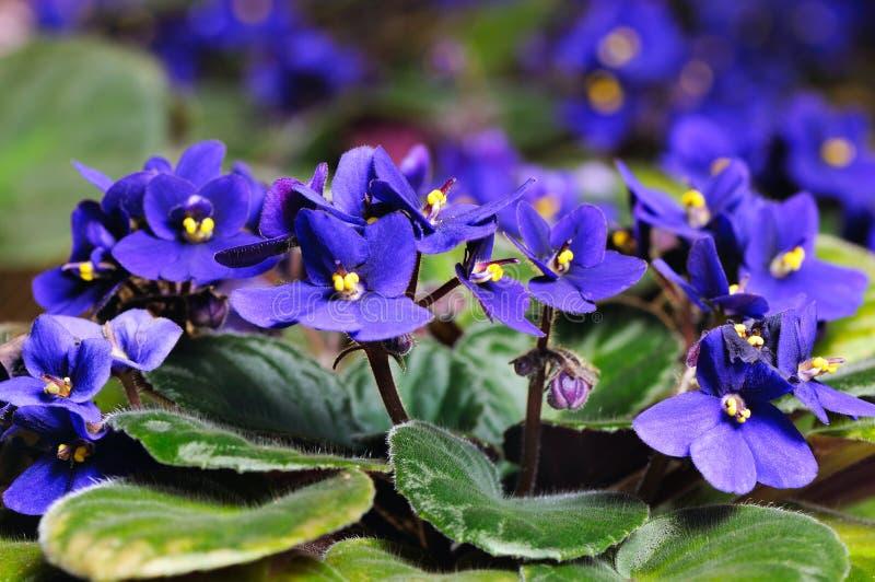 紫罗兰色花 图库摄影
