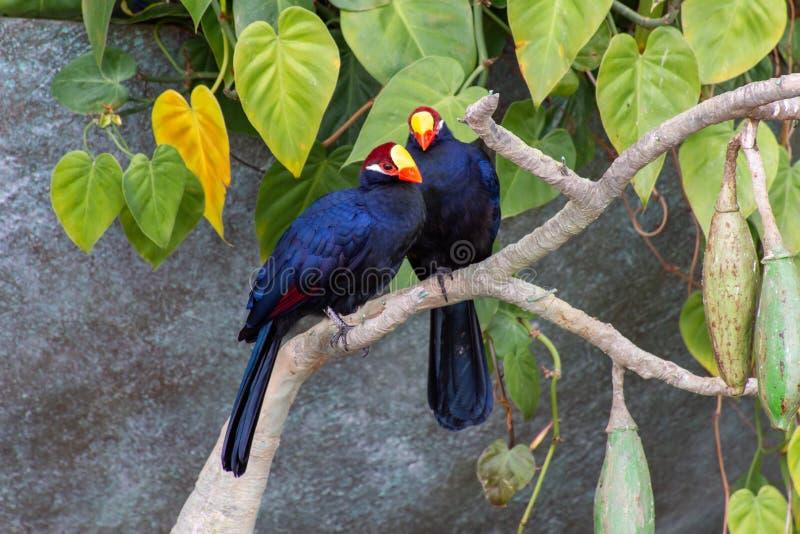 紫罗兰色蕉鹃鸟,亦称紫罗兰色大蕉食者Musophaga violacea在西非显示它美好的紫色 免版税库存图片