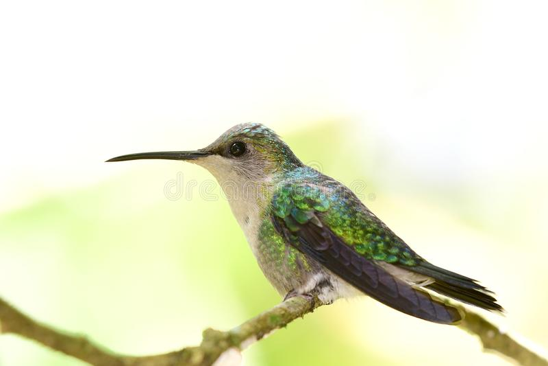 紫罗兰色被加冠的Woodnymph Thalurania colombica女性 免版税图库摄影
