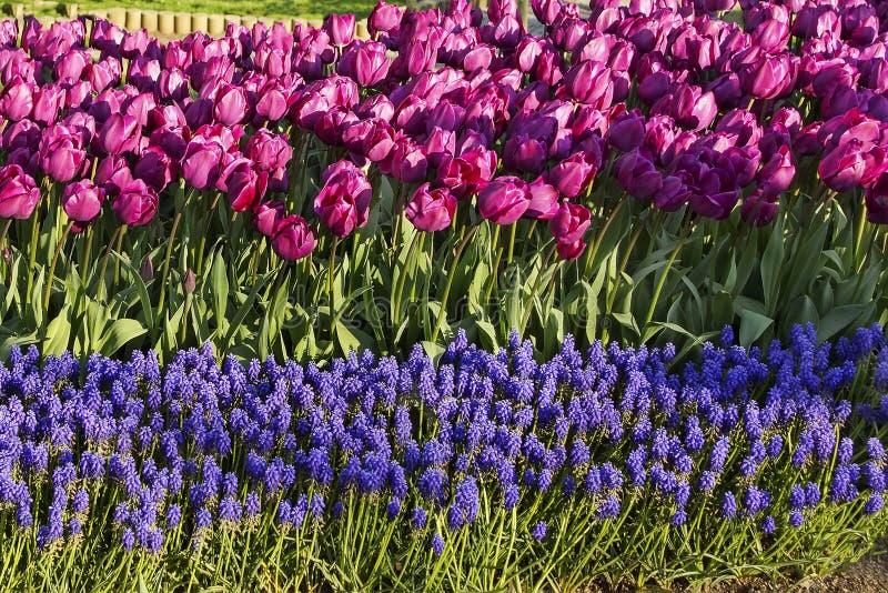 紫罗兰色郁金香和muskara波浪在公园 库存照片