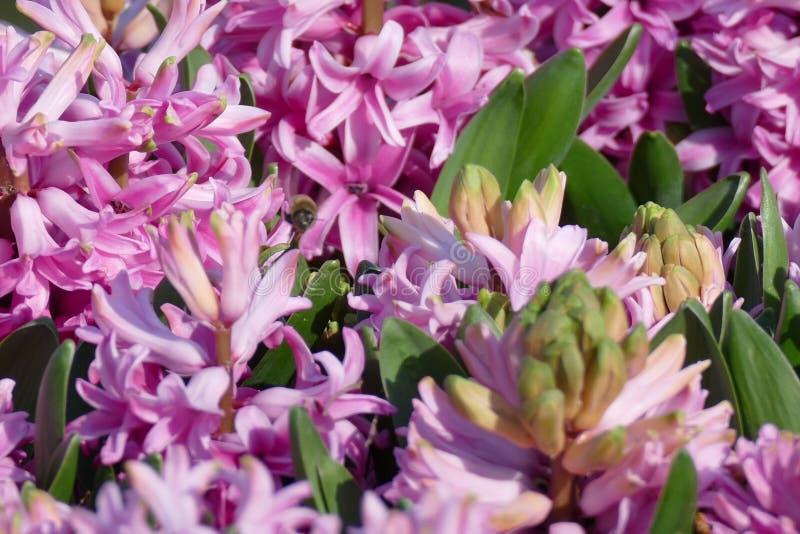 紫罗兰色风信花 库存照片