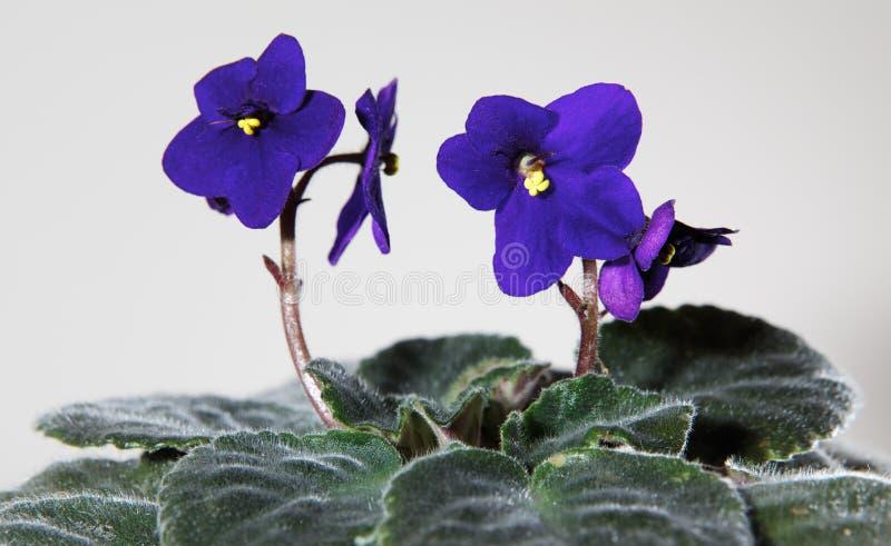 紫罗兰色 免版税图库摄影