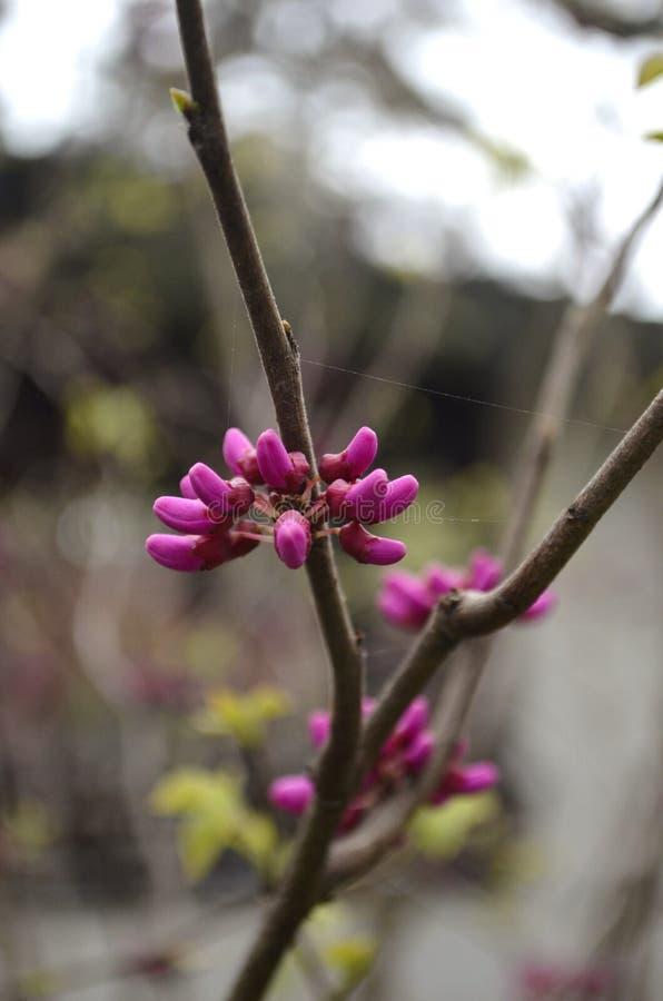 紫罗兰色wintersweet芽 库存图片