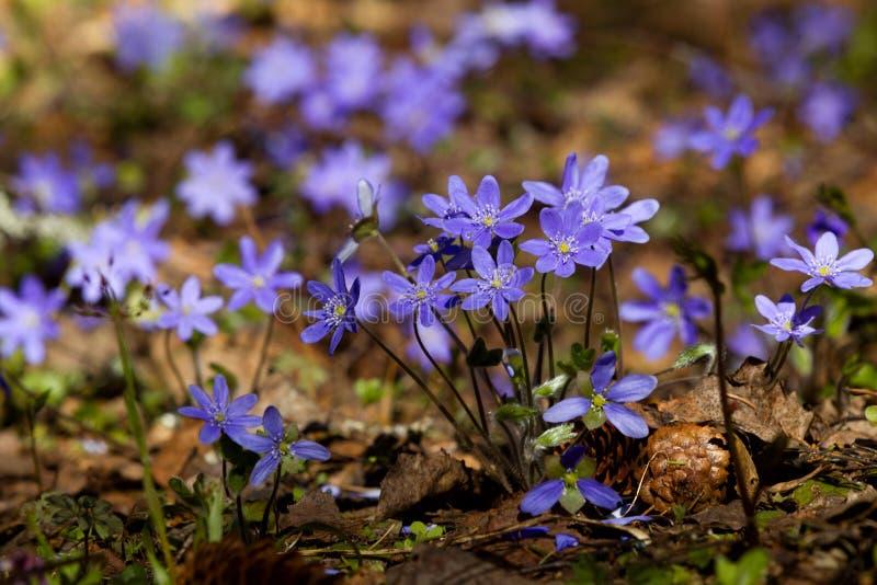 紫罗兰花在春天森林 免版税图库摄影