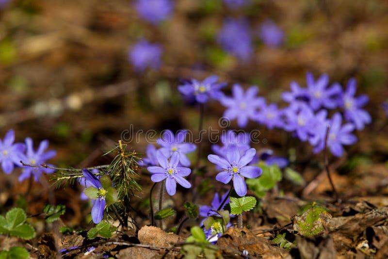 紫罗兰花在春天森林 免版税库存照片