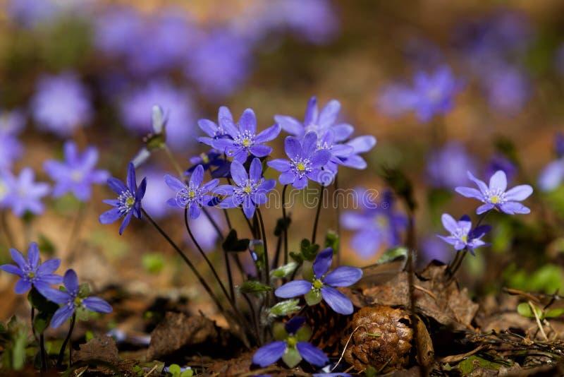 紫罗兰花在春天森林 免版税库存图片