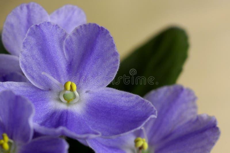 紫罗兰 免版税图库摄影