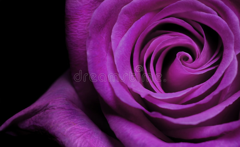 紫色上升了 免版税库存图片