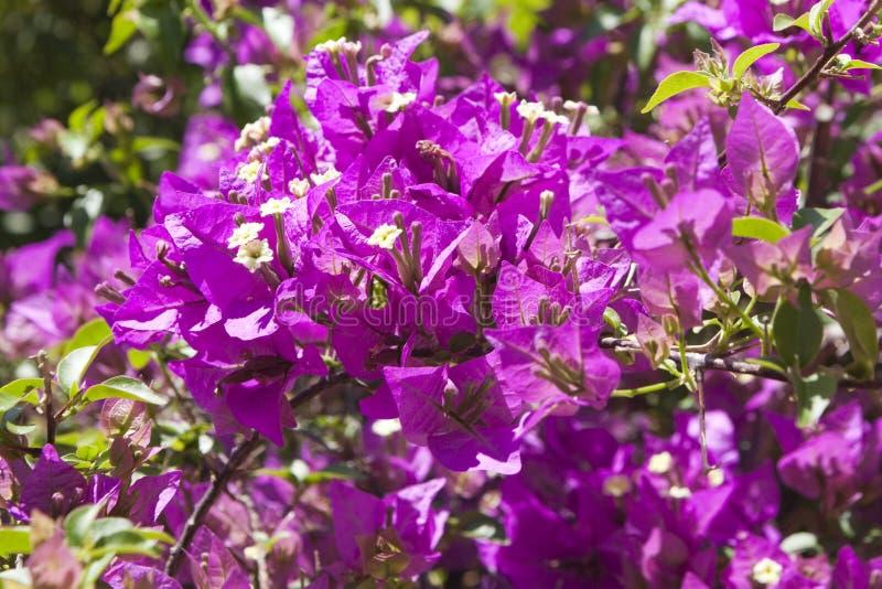 紫色九重葛 免版税库存照片