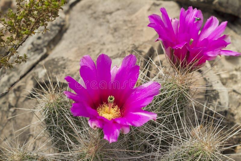 紫色仙人掌花在墨西哥沙漠 库存图片