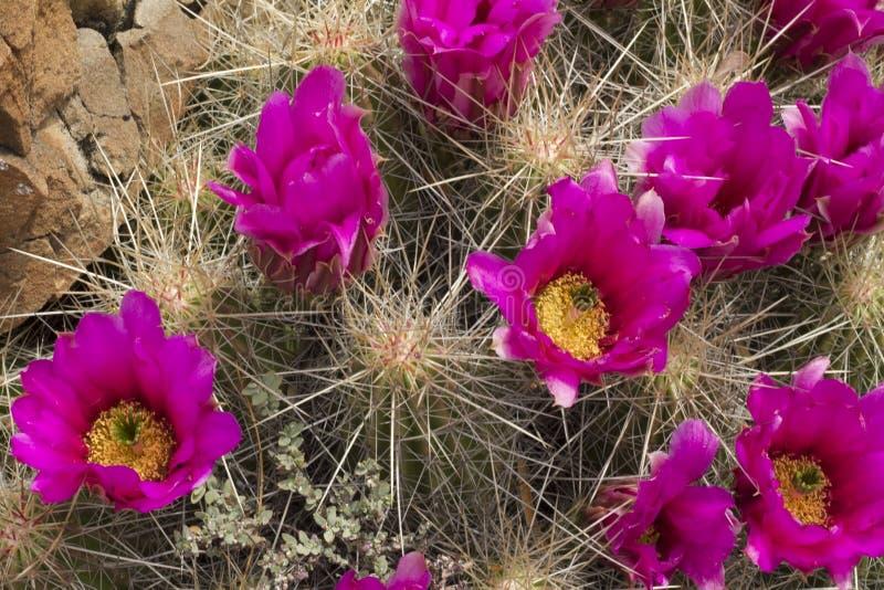 紫色仙人掌花在墨西哥沙漠 免版税库存图片