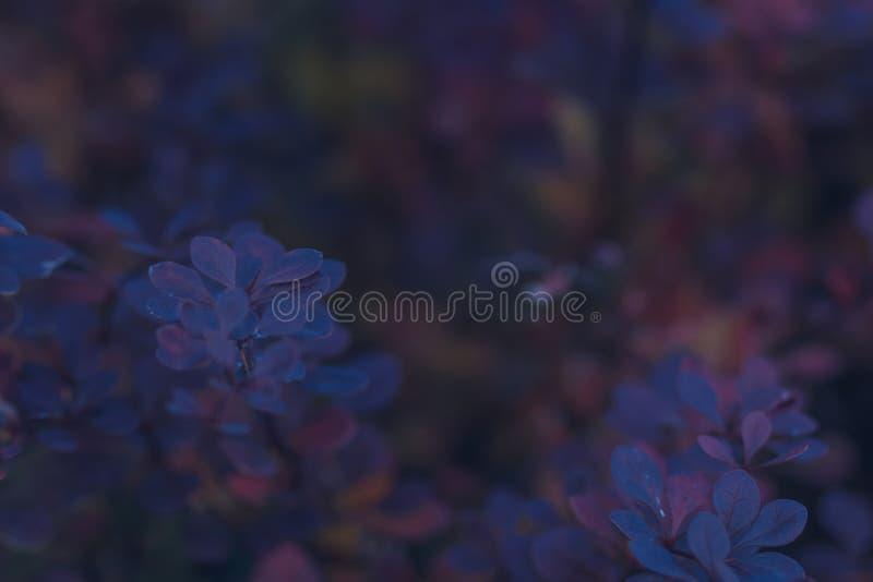 紫色伏牛花灌木 免版税库存图片