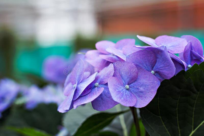紫色八仙花属花(八仙花属macrophylla)在庭院里 库存照片