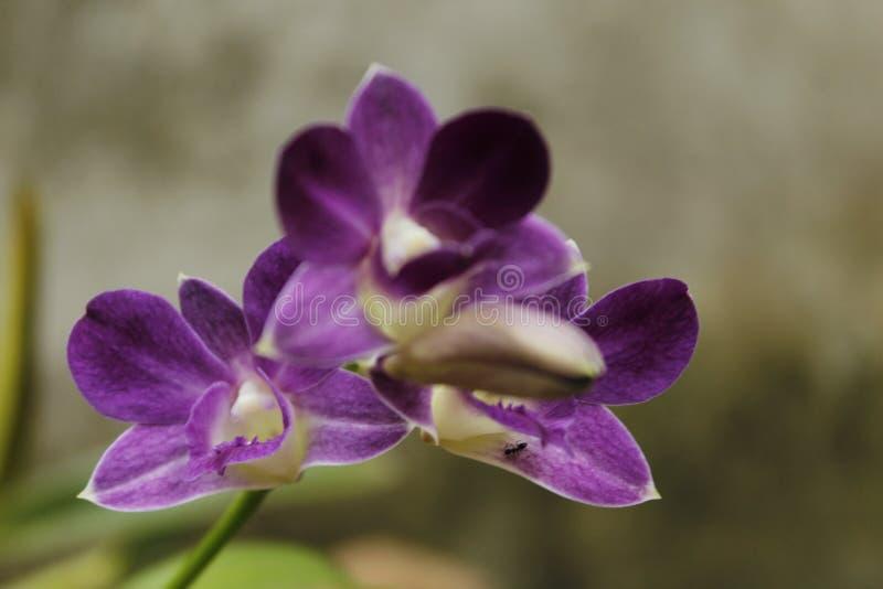 紫色兰花在斯里兰卡 库存照片