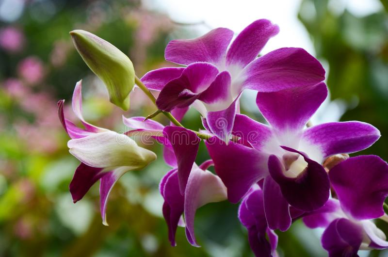紫色兰花在森林里 免版税库存照片