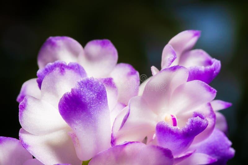 紫色兰花瓣,Aerides rosea Lodd细节  ?Lindl &帕克斯顿 r o 免版税图库摄影