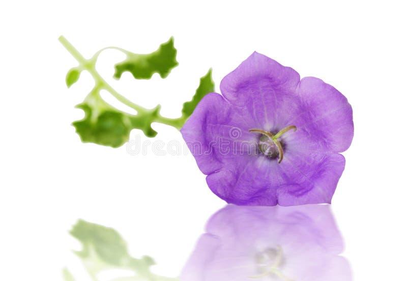 紫色吊钟花 库存照片