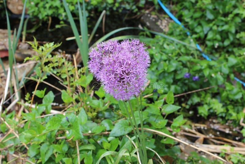 紫色吹花 库存图片