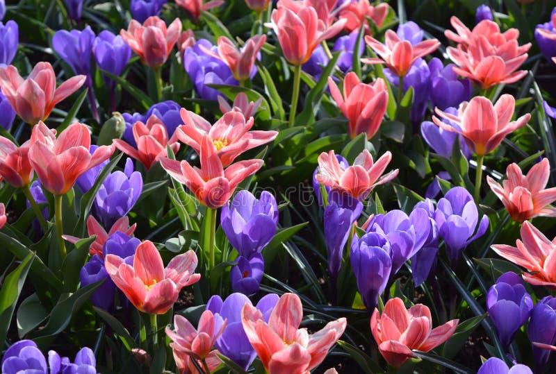 紫色和桃红色番红花 图库摄影