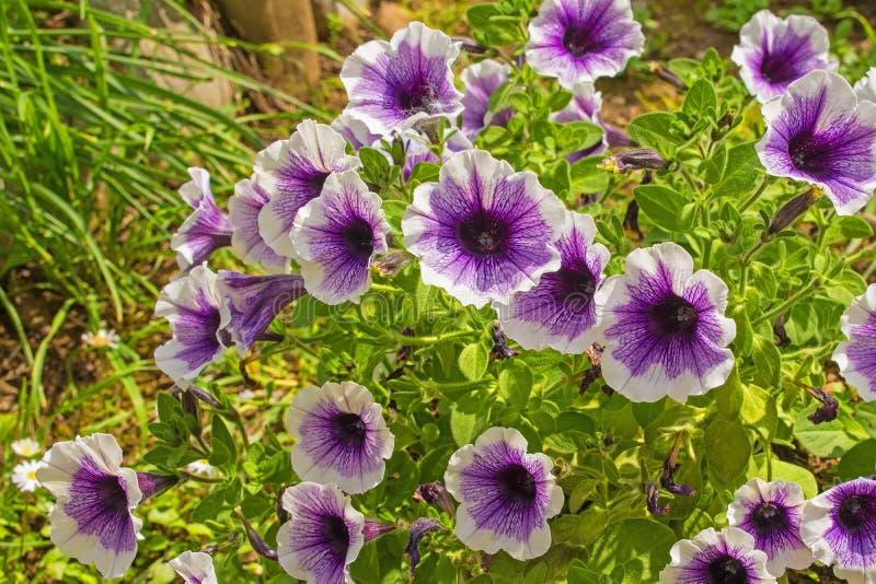 紫色和白色喇叭花 免版税图库摄影