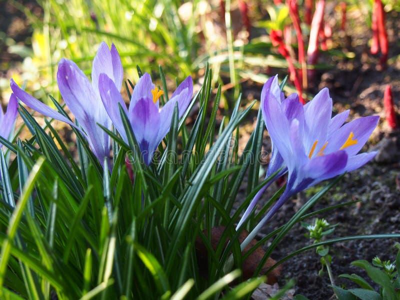 紫色和白色番红花,3月,什切青 免版税库存图片