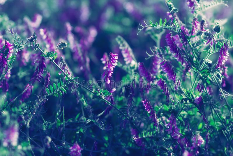紫色和绿色被设色的野花绽放在领域或草甸 免版税图库摄影