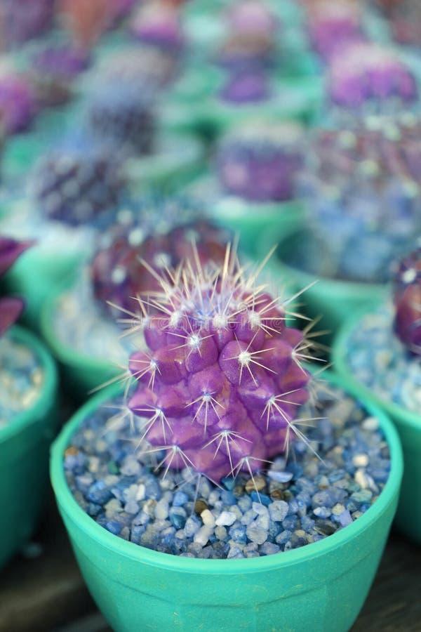 紫色和蓝绿色颜色的流行艺术样式特写镜头微型盆的仙人掌植物 库存图片