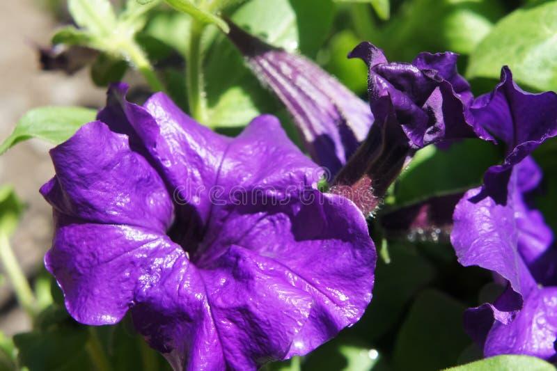 紫色喇叭花绽放在庭院里在夏天 挂掉电话在树关闭的紫色喇叭花深蓝群 免版税库存图片