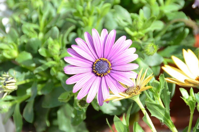 紫色大丁草本质上 免版税图库摄影