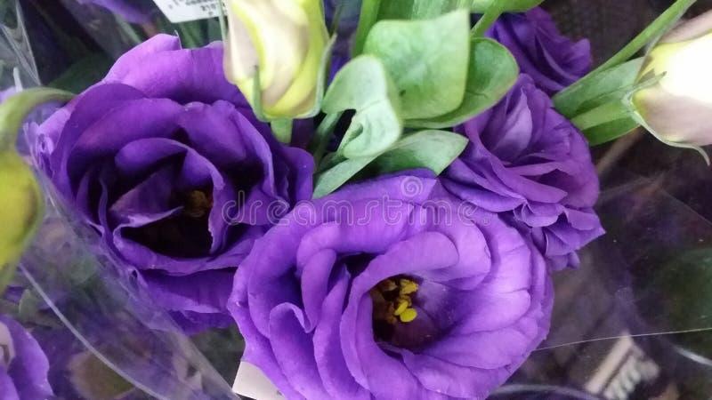 紫色天鹅绒玫瑰 免版税库存照片