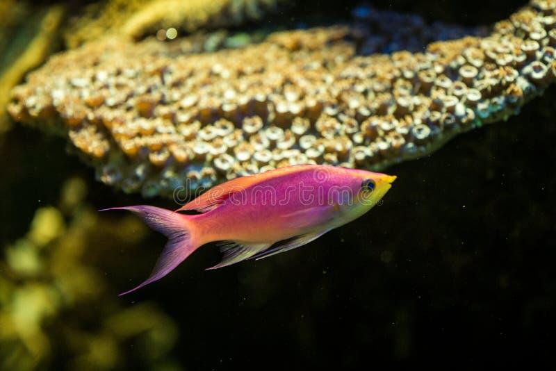 紫色女王Anthias,Pseudanthias tuka、珊瑚礁鱼,盐水海鱼、美好的桃红色和黄色鱼与热带惊叹 免版税图库摄影