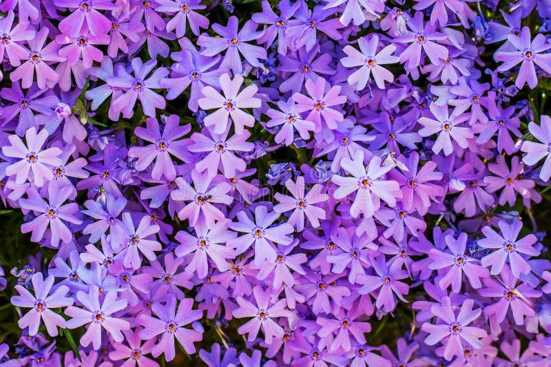 紫色小花福禄考的样式 在flowerbed_的福禄考 免版税图库摄影