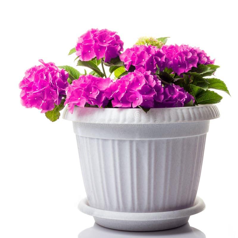 紫色开花的八仙花属macrophylla或mophead霍滕西亚在白色隔绝的花盆 库存图片