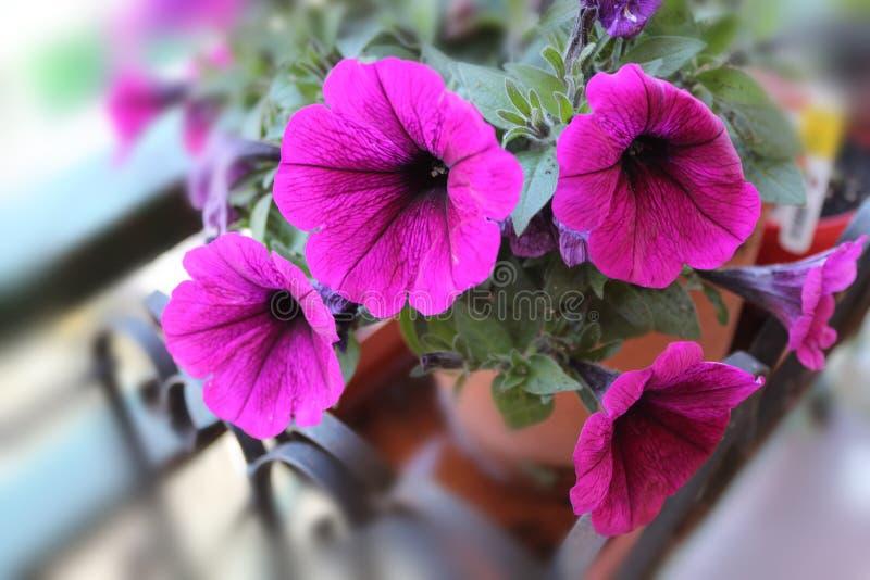 紫色开花的喇叭花 库存照片