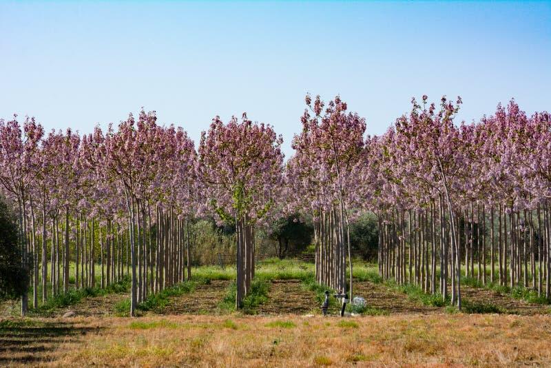紫色开花的树水平的看法在天空蔚蓝背景的 免版税库存照片