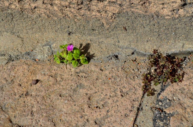 紫色微型花卉生长在小径 库存照片