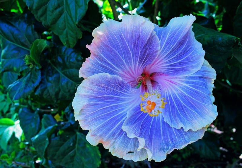 紫色或紫罗兰色木槿,蜀葵 免版税库存图片
