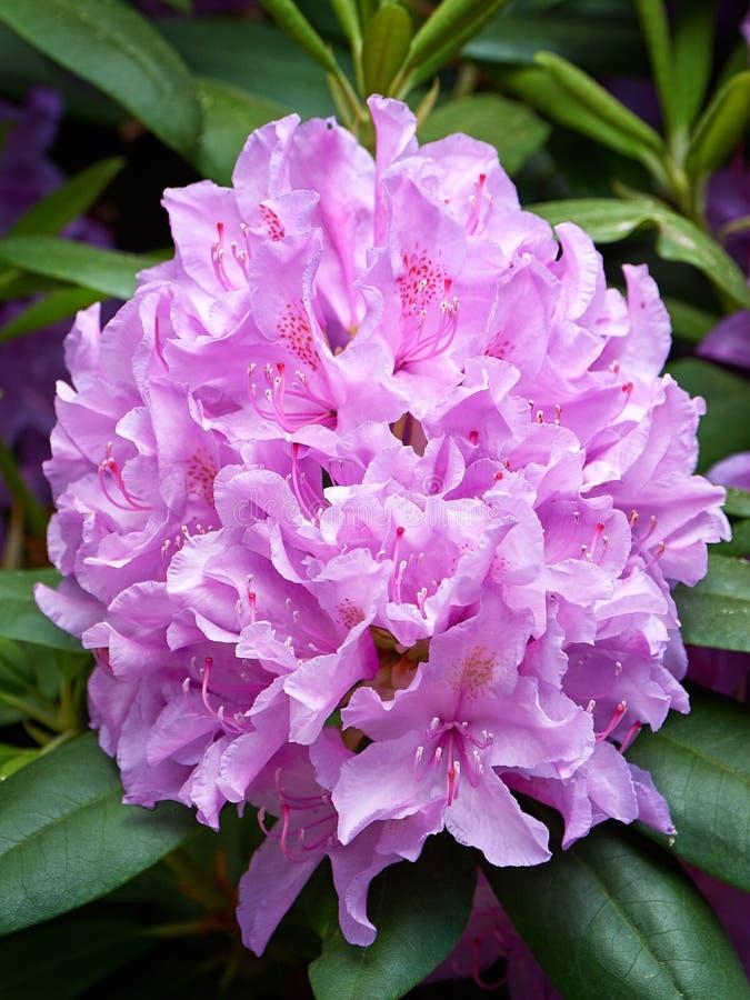 紫色杜鹃花 库存图片