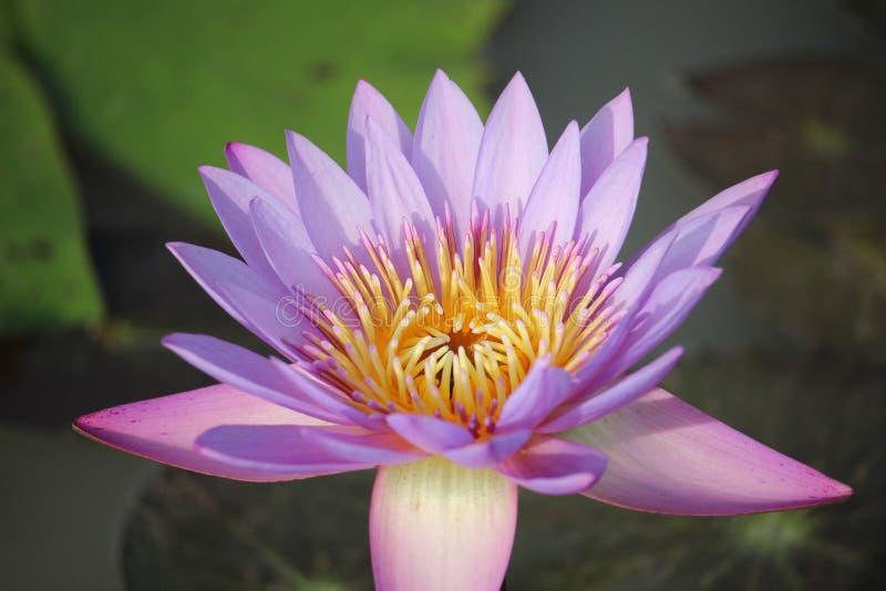紫色桃红色莲花在水池开花 后面有一片美丽的绿色莲花叶子 图库摄影