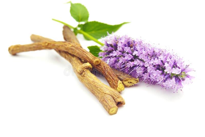 紫色桃红色蓝色花甘草精根在白色黏附藿香庭院草本被隔绝的欧亚甘草甘草精 免版税库存图片
