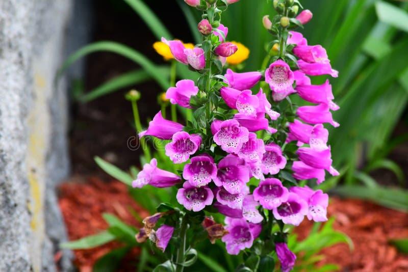 紫色毛地黄属植物花在庭院里 免版税图库摄影