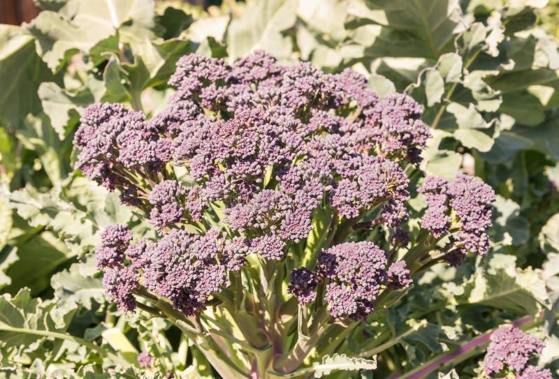 紫色洋椰菜花头 库存照片