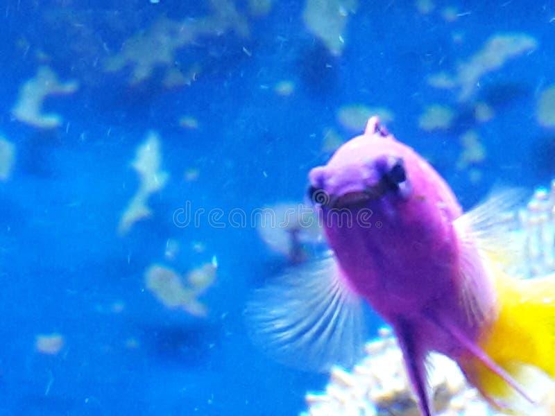 紫色海洋星 免版税库存照片