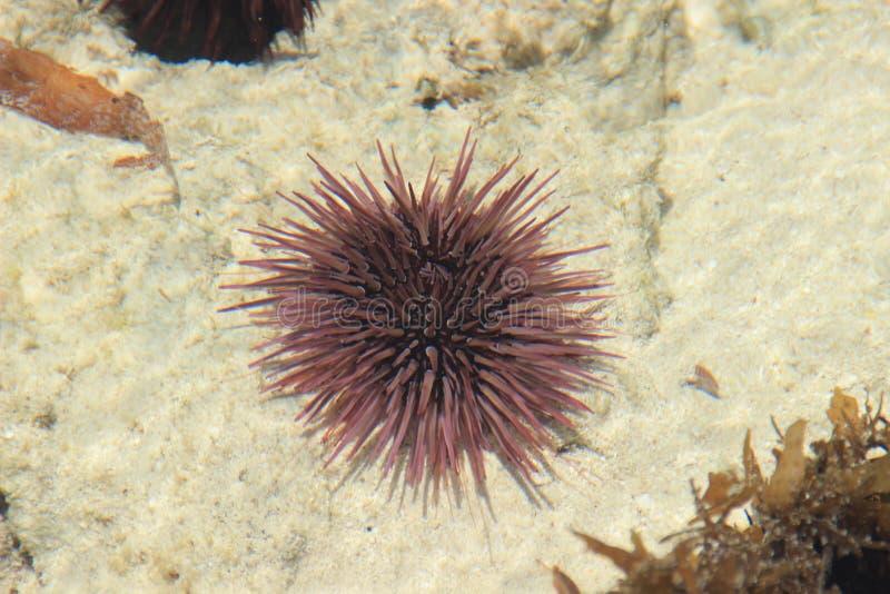 紫色海胆在印度洋的海岸说谎 免版税库存图片