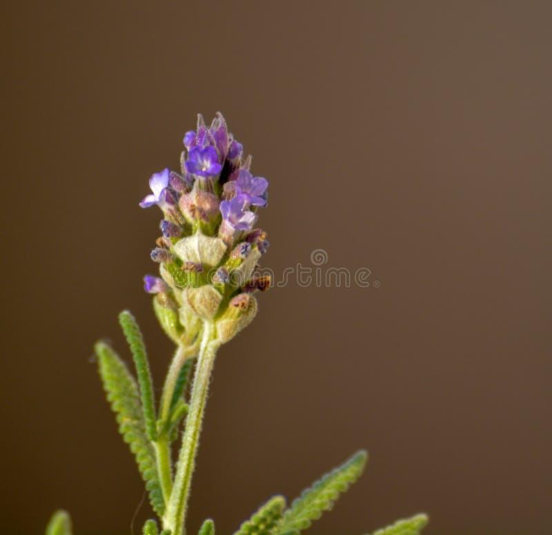 紫色淡紫色花开花宏观特写镜头秀丽绽放自然户外背景画象绿色植物 库存照片