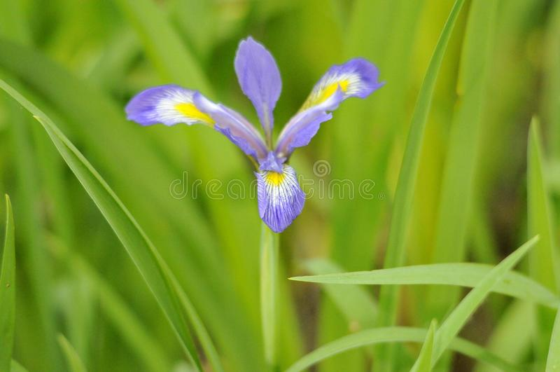 紫色狂放的虹膜花 免版税库存照片