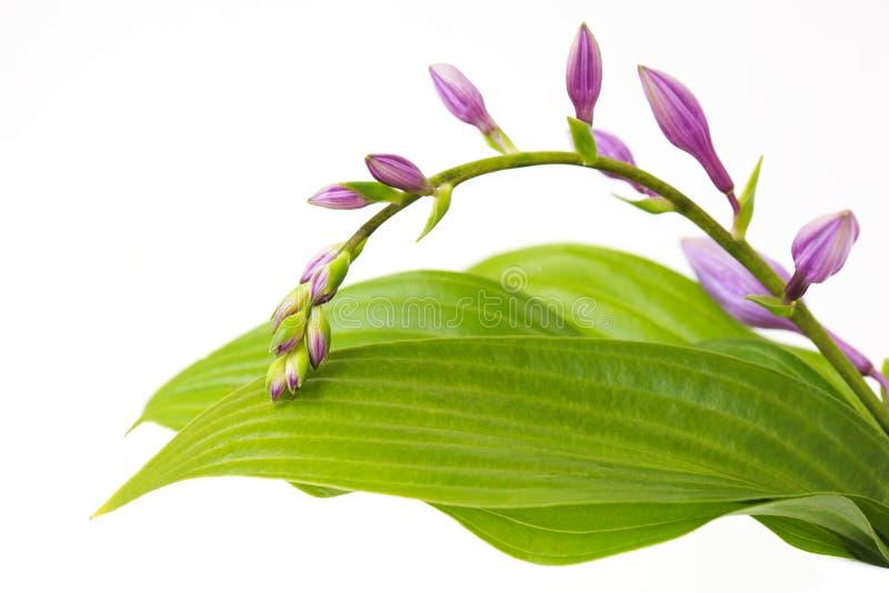 紫色玉簪属植物 免版税库存图片