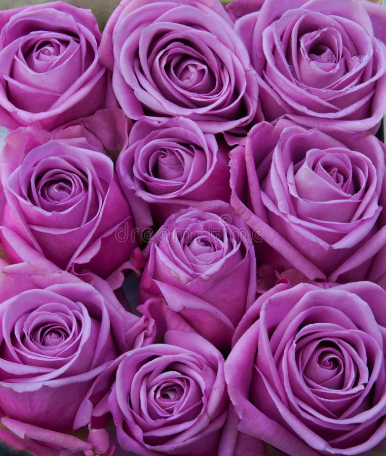 紫色玫瑰 免版税库存照片