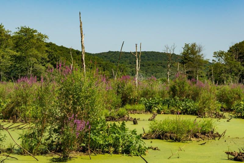 紫色珍珠菜和过份浮萍毁坏的沼泽地 免版税库存照片