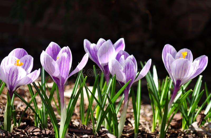 紫色番红花剪影在黑暗的背景的 库存照片